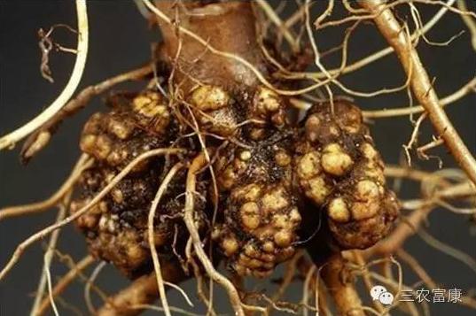 果树根癌病的防治方法
